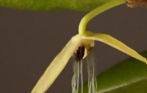 Ορχιδέα, orchidea