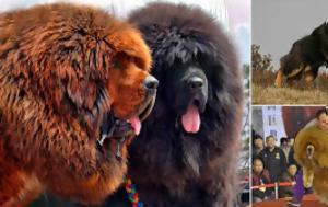 Θιβετιανό Μαστίφ, thivetiano mastif