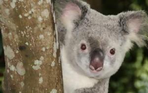 Το αυστραλιανο κοαλα,  εξυπνοτερο απο αλλα ειδη αρκουδας