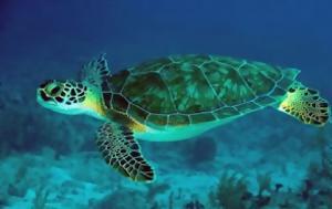Στο φυσικό τους περιβάλλον τρεις θαλάσσιες χελώνες μετά τους τραυματισμούς τους
