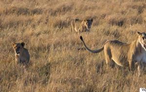 Λιοντάρια, Planet Earth 2, BBC, liontaria, Planet Earth 2, BBC