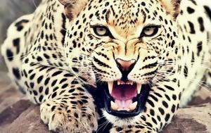 Λεοπάρδαλη, 4χρονο, leopardali, 4chrono