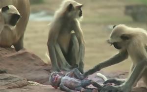 Το πένθος των πιθήκων για το θάνατο μιας ψεύτικης μαϊμούς - ρομποτ που συγκινεί