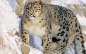 Μήνυμα, Snow Leopard Day, minyma, Snow Leopard Day