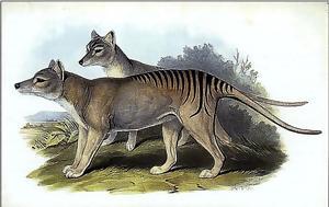 Tίγρης, Τασμανίας, Εξετάζεται, Tigris, tasmanias, exetazetai