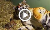 Τίγρης,tigris