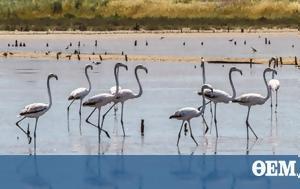 Αλυκές Λεχαινών, Φωτογραφίζοντας, Flamingos, alykes lechainon, fotografizontas, Flamingos