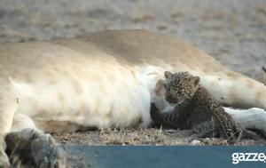 Η σπάνια στιγμή που μία λέαινα θηλάζει μία μικρή λεοπάρδαλη (pic &vid)