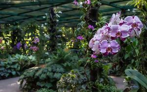 Εθνικό Κήπο Ορχιδέων, Σιγκαπούρη 200 VIP, ethniko kipo orchideon, sigkapouri 200 VIP