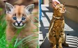 Οι δέκα πιο ακριβές γάτες του πλανήτη,