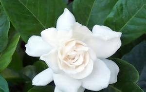 Γαρδένια -, gardenia -