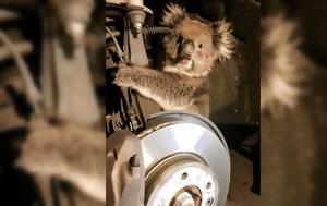 Ένα κοάλα επιβίωσε 16 χιλιόμετρα παγιδευμένο στο θόλο ενός αυτοκινήτου