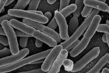 Γιατί τα βακτήρια που φτάνουν από το αγρόκτημα σε εμάς είναι τόσο ανθεκτικά,