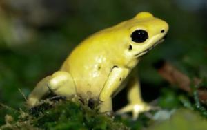 Ο πιο θανατηφόρος βάτραχος στον κόσμο!