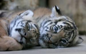 Τιγράκια Μαλαισίας, Πράγας, tigrakia malaisias, pragas