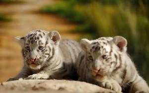 Ζωολογικός, Μεξικό, Βεγγάλης, zoologikos, mexiko, vengalis
