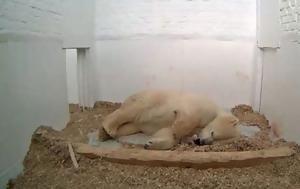 Η τρυφερή στιγμή που πολική αρκούδα φροντίζει το νεογέννητο αρκουδάκι της