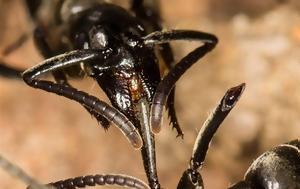 Και τα μυρμήγκια περιποιούνται τους τραυματίες στο πεδίο της μάχης!