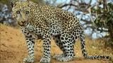 Λεοπάρδαλη, Ναμίμπια ΦΩΤΟ,leopardali, namibia foto