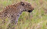 Λεοπάρδαλη, 3χρονο,leopardali, 3chrono
