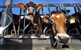 Οι σουηδικές αρχές επιτρέπουν τις… αγελάδες στις παραλίες γυμνιστών,