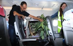 Ένα κοάλα ταξίδεψε με αεροπλάνο στην καμπίνα των επιβατών…