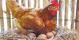 Η κότα έκανε το αβγό αλλά και το αβγό την κότα; Η απάντηση!,