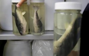 Το απίστευτα επικίνδυνο (και ακριβό) ψάρι με θανατηφόρο νευροτοξίνη που «καμουφλάρει» η κλιματική αλλαγή