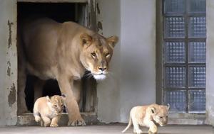 Λιοντάρια, liontaria