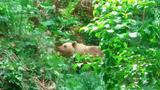 Μικρό Πάπιγκο, Αρκούδα,mikro papigko, arkouda