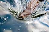 Οι κάστορες απειλούν την κλιματική αλλαγή και τους πάγους,