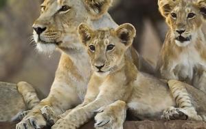ΗΠΑ, Λιοντάρια, Ουάσιγκτον, Covid-19, ipa, liontaria, ouasigkton, Covid-19